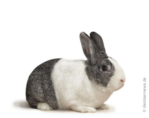 Holländer chinchillafarbig-weiß