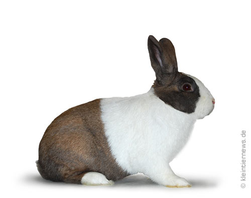 Holländer thüringerfarbig-weiß