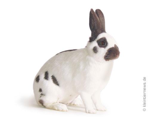 Kleinschecken havannafarbig-weiß