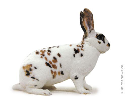 Dalmatiner-Rexe dreifarbig