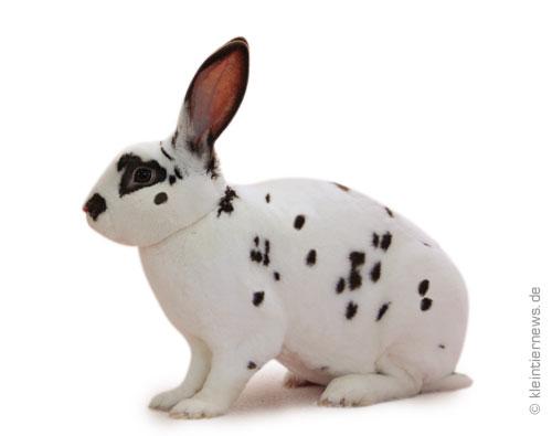 Dalmatiner-Rexe havannafarbig-weiß