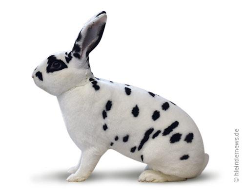 Dalmatiner-Rexe schwarz-weiß