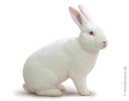 Weiß-Rexe Rotauge