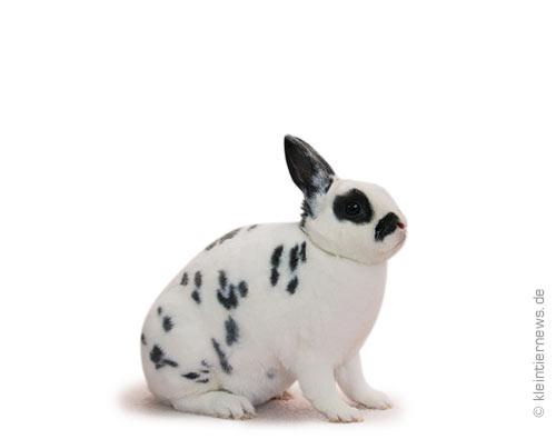 Zwerg-Rexe dalmatiner blau-weiß