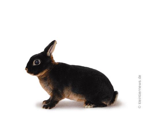 Zwerg-Rexe lohfarbig schwarz