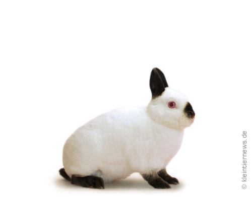 Zwerg-Rexe russenfarbig schwarz-weiß