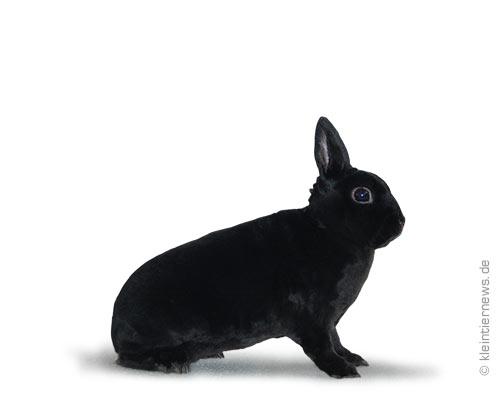 Zwerg-Rexe schwarz