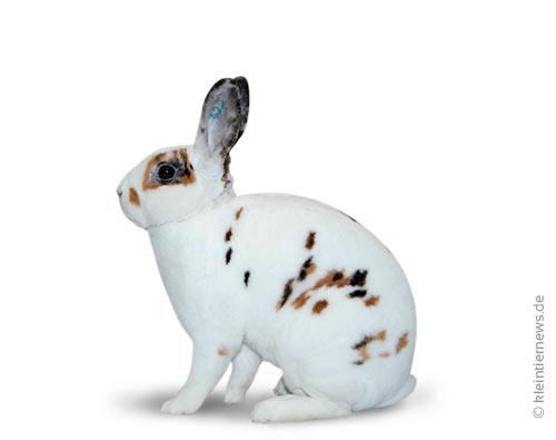 Zwerg-Rexe dalmatiner dreifarbig