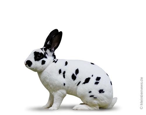 Zwerg-Rexe dalmatiner schwarz-weiß