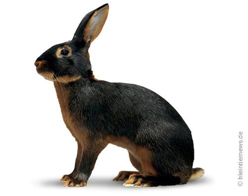 Hasenkaninchen lohfarbig-schwarz