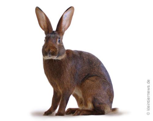 Kaninchen gewichtstabelle | Europastandard Kaninchen Stand ...