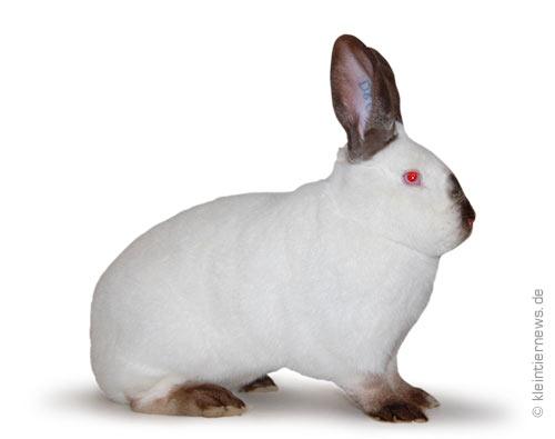 Kalifornier havannafarbig-weiß