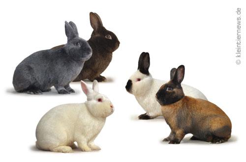 alle kaninchenrassen mit beschreibung und bild kaninchenrassen info. Black Bedroom Furniture Sets. Home Design Ideas