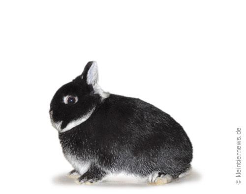 Farbenzwerge weißgrannenfarbig schwarz