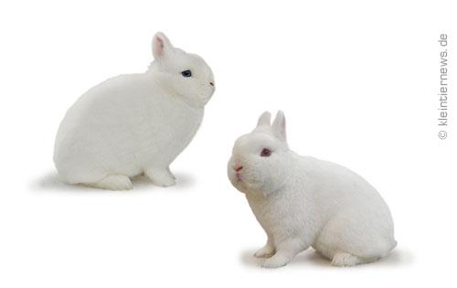Hermelin Kaninchen