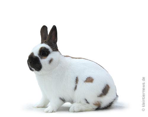 Zwergschecken thüringerfarbig-weiß