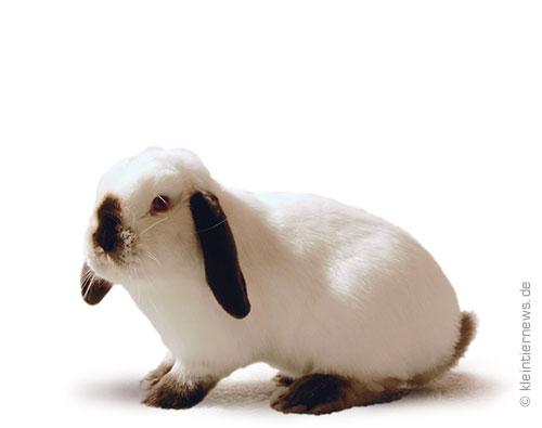 Zwergwidder russenfarbig schwarz-weiß