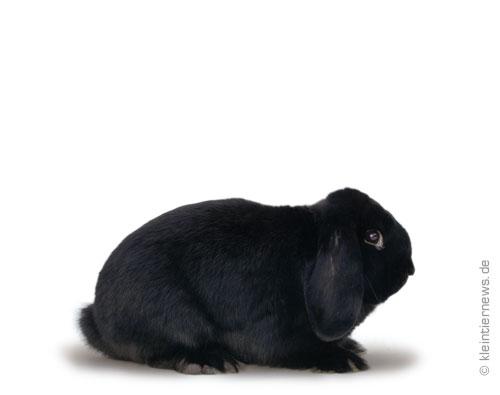 Zwergwidder schwarz