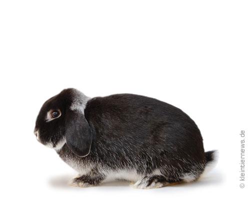 Zwergwidder weißgrannenfarbig schwarz